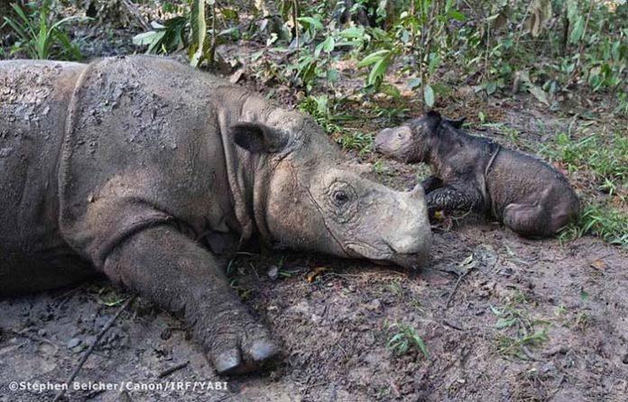 Rinoceronte de Sumatra dio a luz
