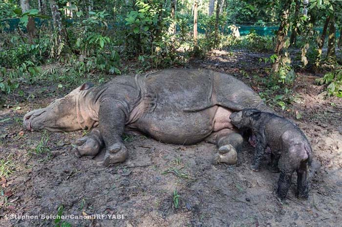 Rinoceronte de Sumatra y su cria