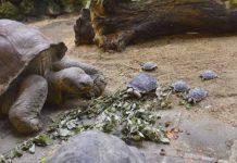 Tortuga de 80 años en peligro de extincion tuvo 9 tortuguitas