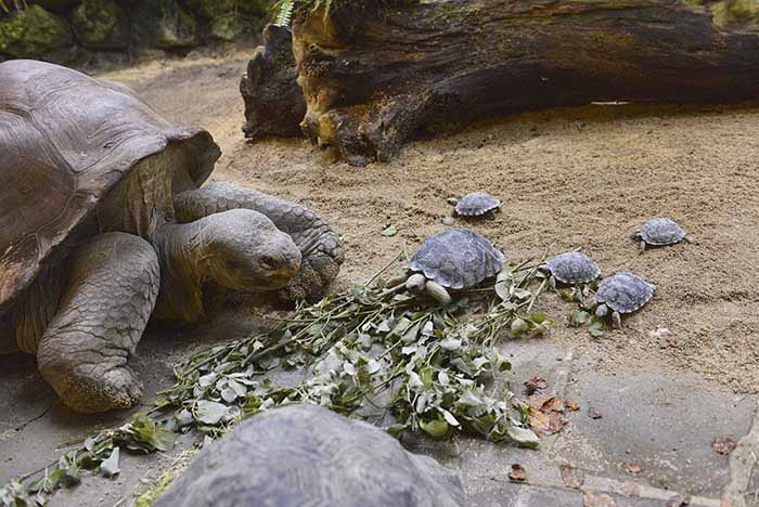 Galapago tortoise and its baby turtles