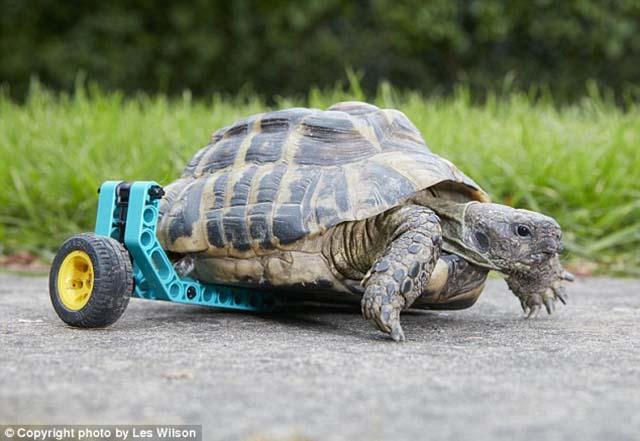Tortuga sin una pata tiene protesis hecha de Lego