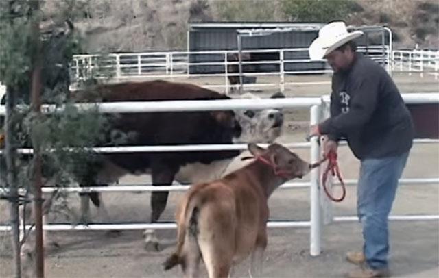 Vaca llora al reencontrarse con su bebé perdido