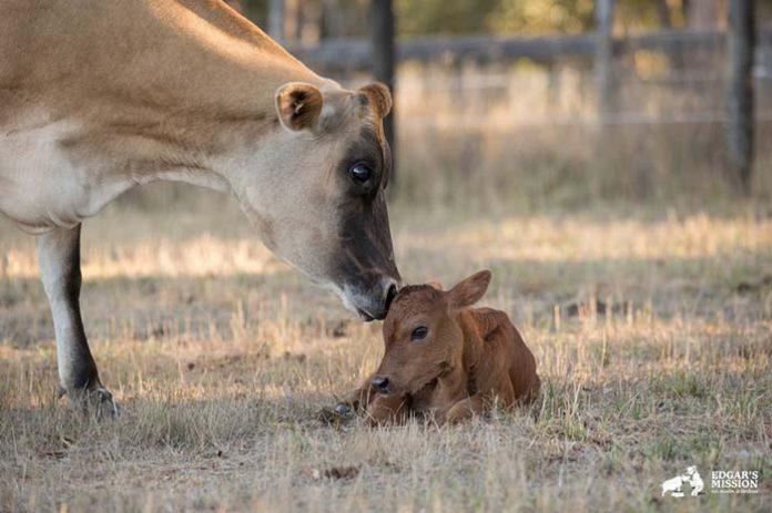 Vaca oculta a su bebe recien nacido