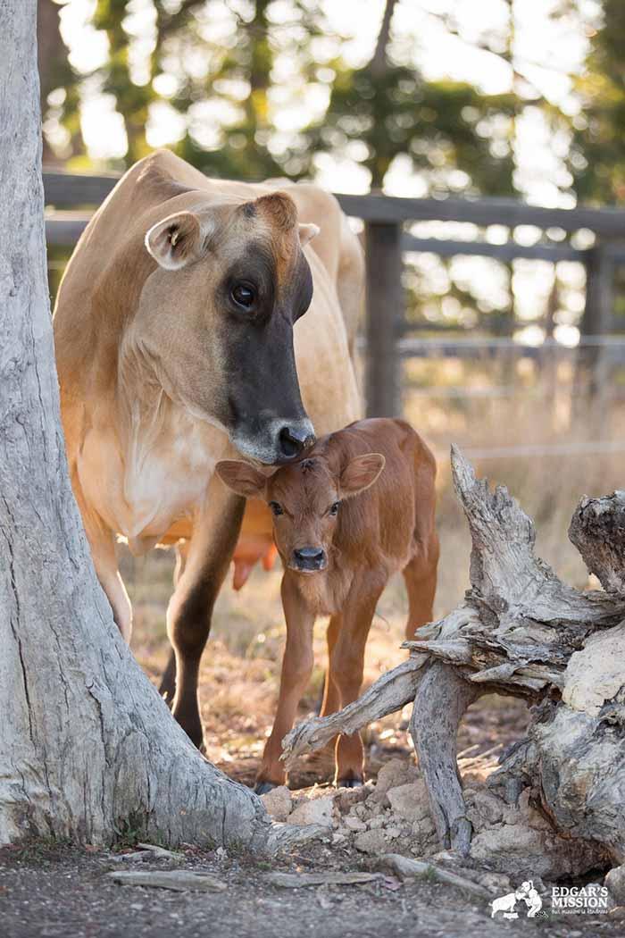 Vaca y su bebé