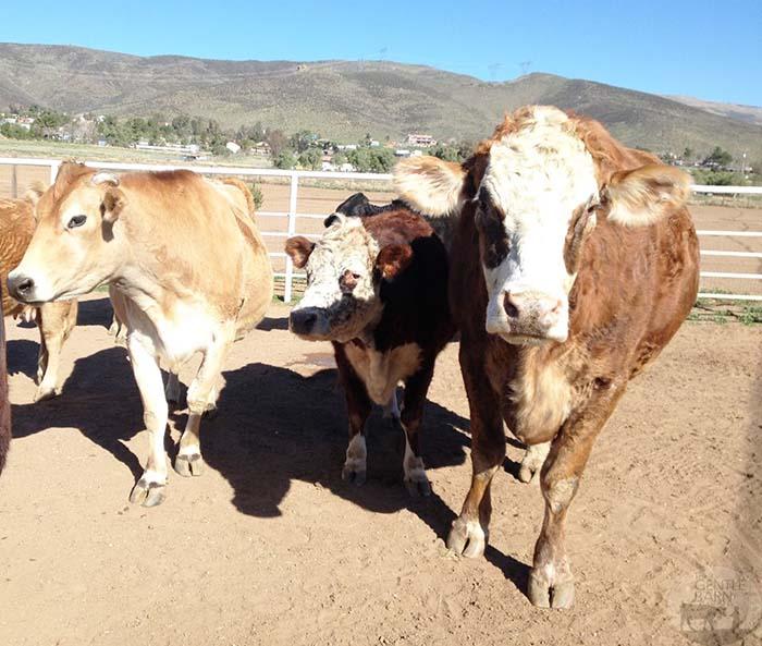 Vacas felices en el santuario