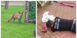 Zorro madre espera mientras rescatan a su cachorro