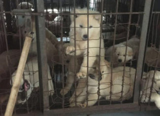 Activistan irrumpen en matadero para salvar animales a punto de ser sacrificados para el festival de Yulin