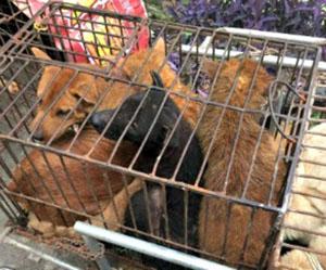 Animales a punto de ser sacrificados en Yulin