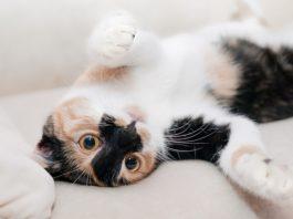 Enfermedades Comunes en Gatos