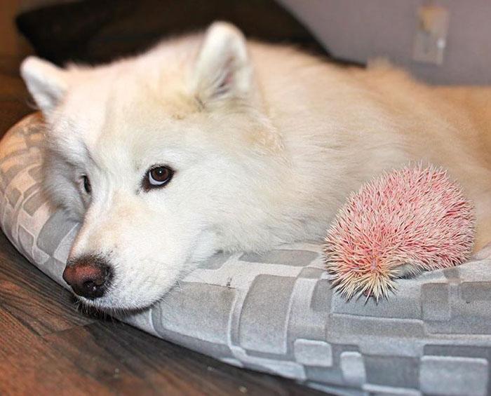 Erizo y un perro