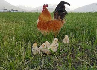 Este gallo es un padre ejemplar