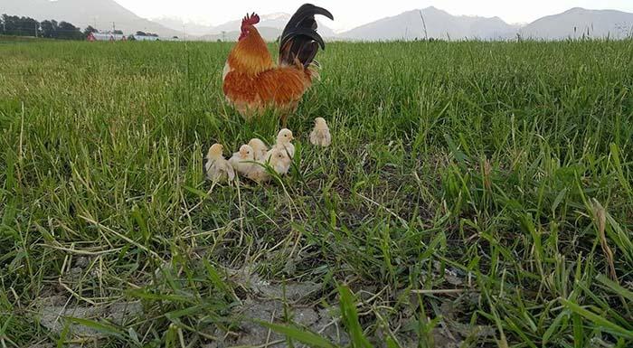 Gallo cuida de sus pollitos