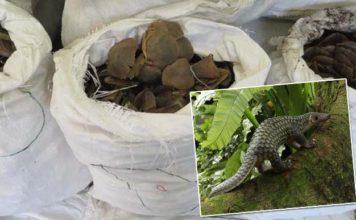 Incautan 4 toneladas de escamas de pangolín en Hong Kong