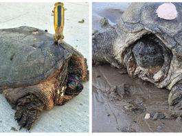Intentaron matar a esta vieja tortuga con un destornillador