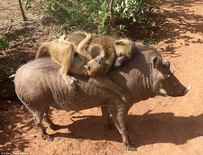 Jabali es amigo de los babuinos