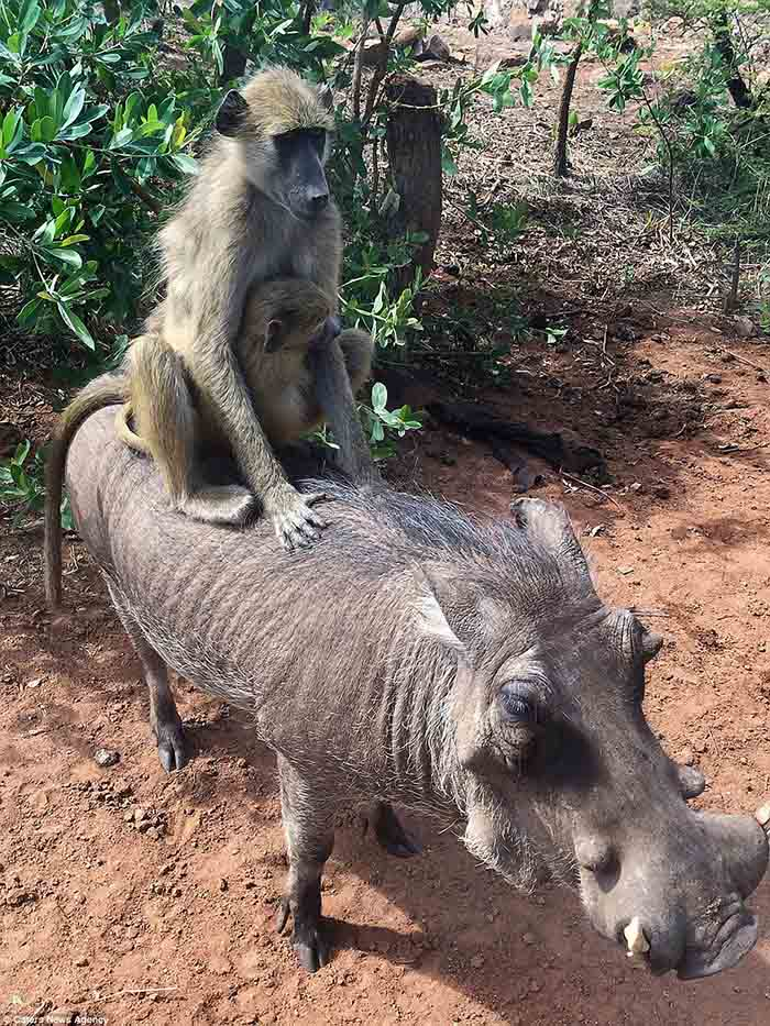 Jabali es amigo de los monos