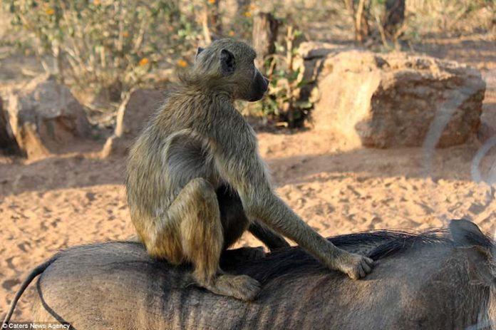 Jabali es amigo de un mono