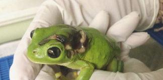 Mujer atropello a una rana y volo mil kilometros para salvarla