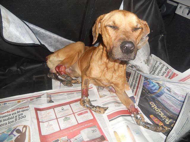 Perro cruelmente maltratado