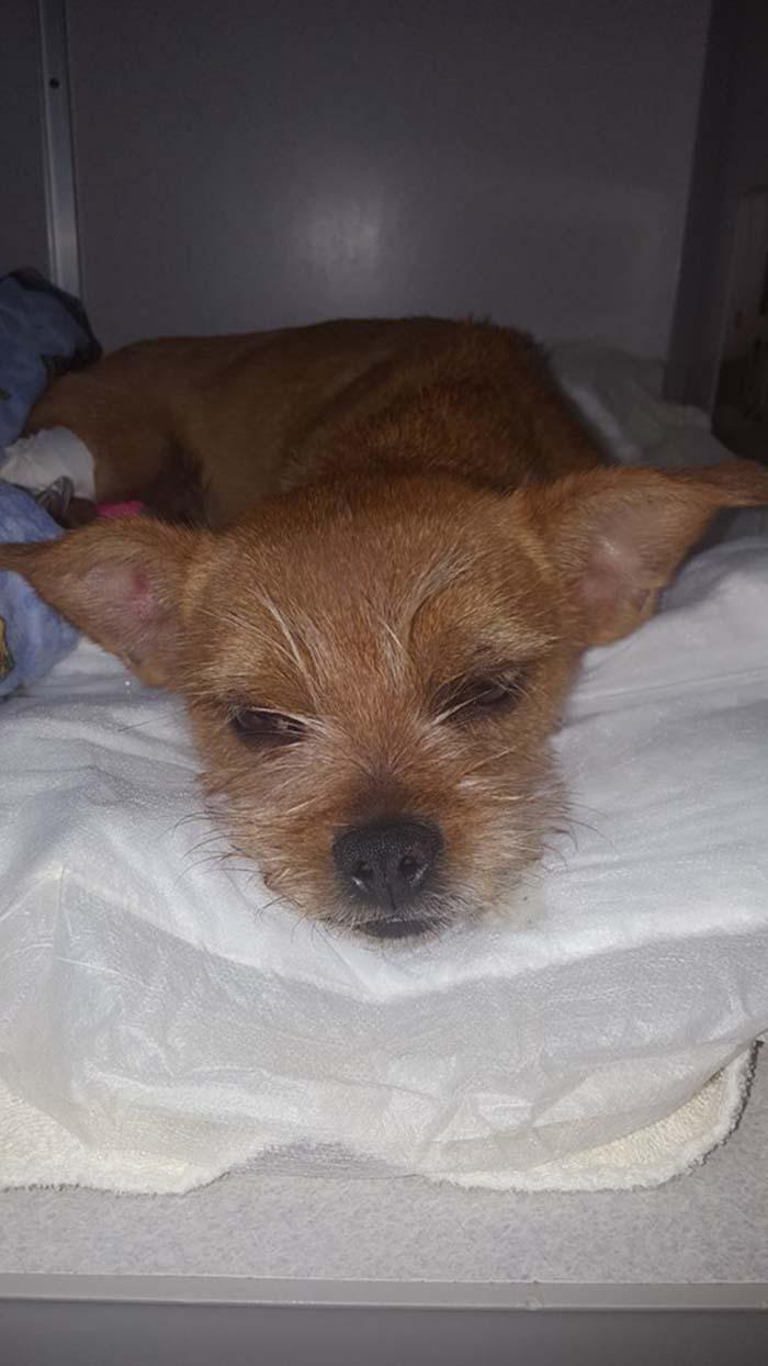 Perro en recuperacion luego de ser maltratado