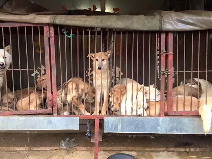 Perros en festival de Yulin