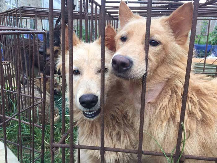 Perros iban a ser destinados para festival de Yulin