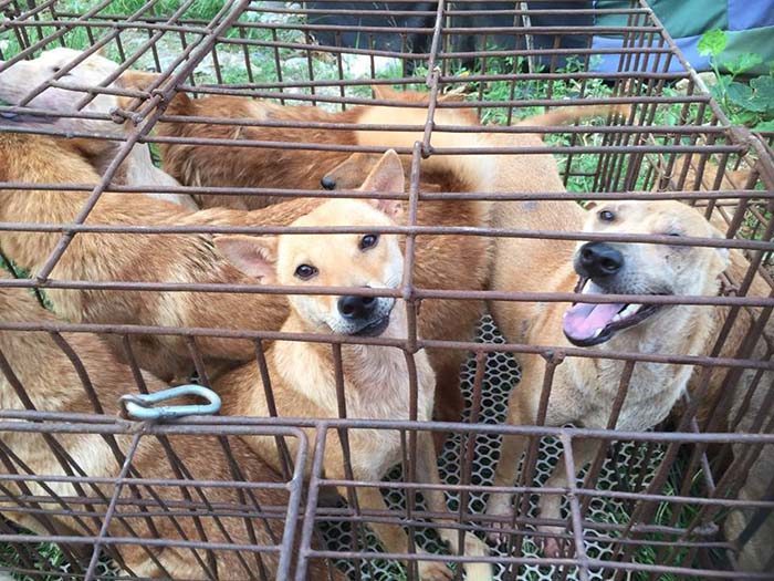 Perros rescatados antes de ser sacrificados en Yulin