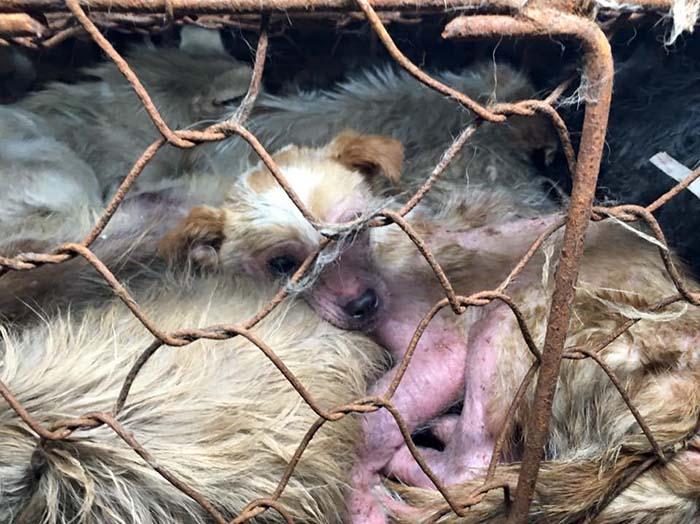 Perros rescatados del festival de Yulin