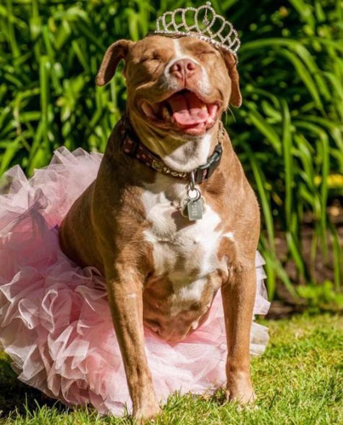 Pit bull feliz