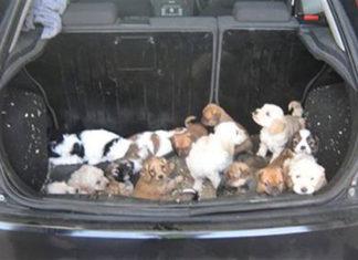 Rescatan cachorros amontonados en el maletero de un auto transportado en un ferry