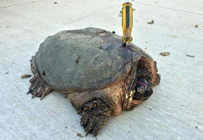 Tortuga atacada con destornillador