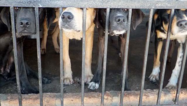 A punto de prohibir el consumo de carne de perro en India