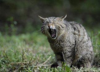 Calculos en la vejiga de los gatos