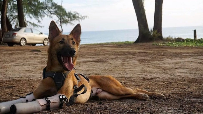 Perro recibe prótesis luego de perder sus patas delanteras
