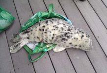 Crías de foca están muriendo porque la gente se las lleva a casa