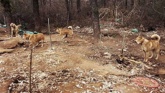 Granja de carne de perro en Corea del Sur