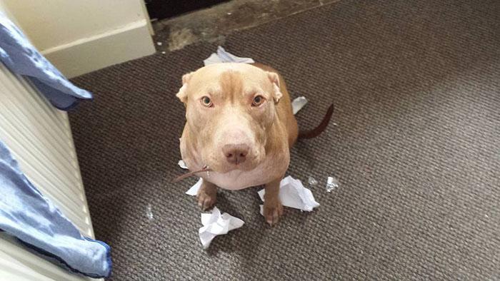 Incautaron a su perro porque parece pit bull