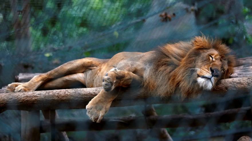 León alimentado sólo con fruta