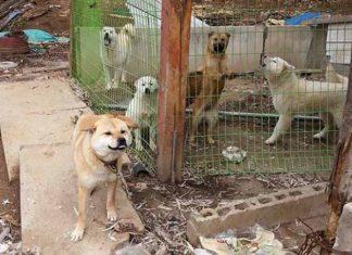 Mujer salva a 20 perros de ser comidos en los dias Bok Nal en Corea del Sur