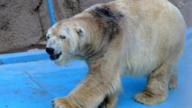 Murió el oso arturo