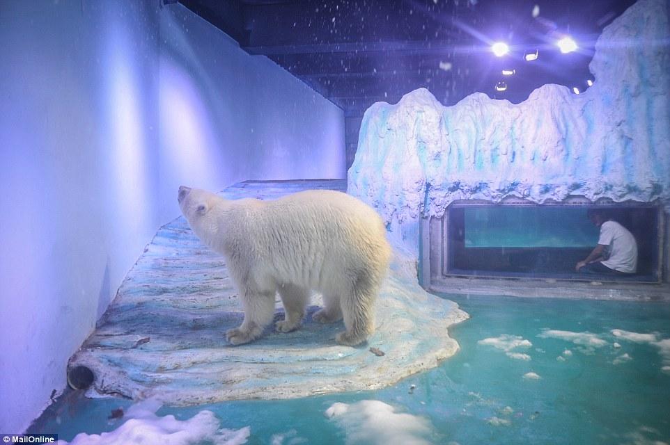 Oso polar en Grandview
