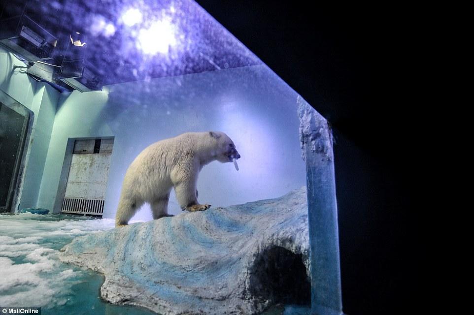 Oso polar encerrado en centro comercial