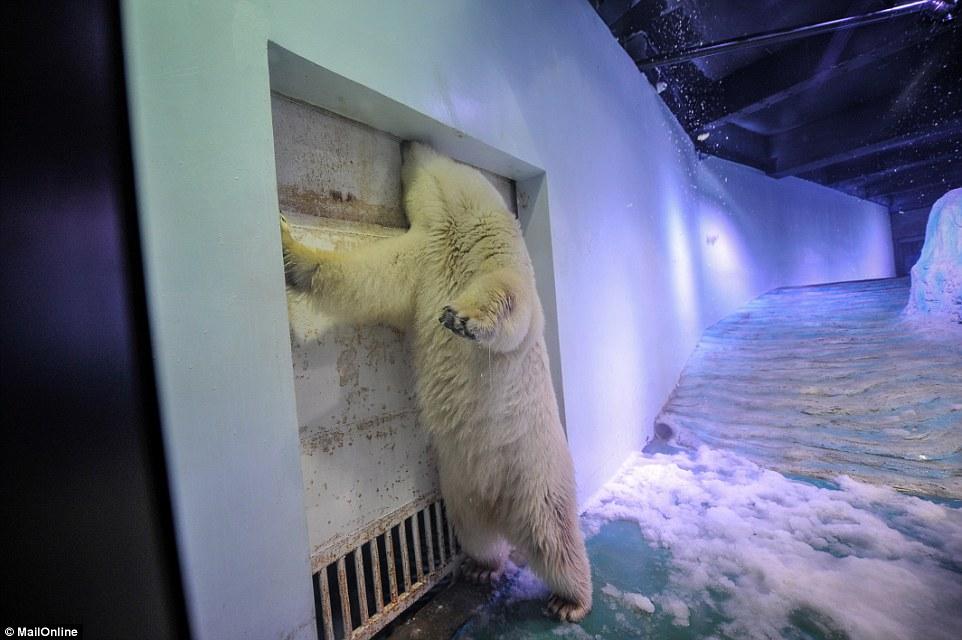 Oso polar está desesperado