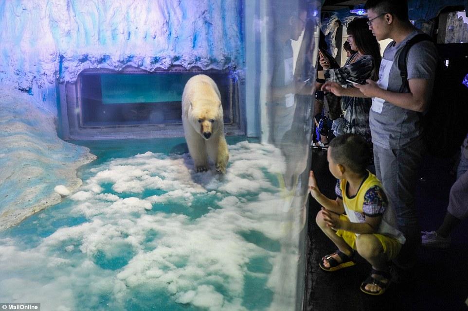Oso polar más triste del mundo