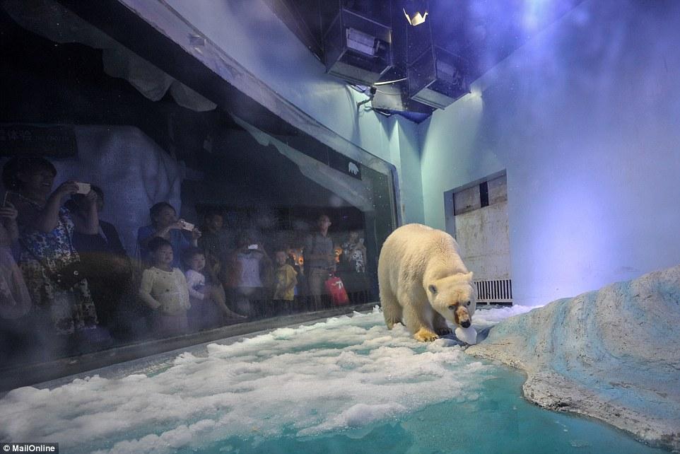 Oso polar muy triste