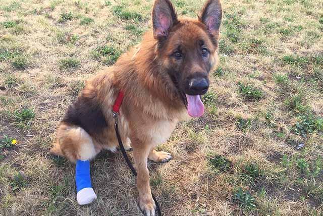 Perro masticó parte de su pata en un intento por liberarse