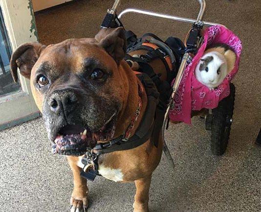 Perro mayor lleva a su mejor amigo a todos lados