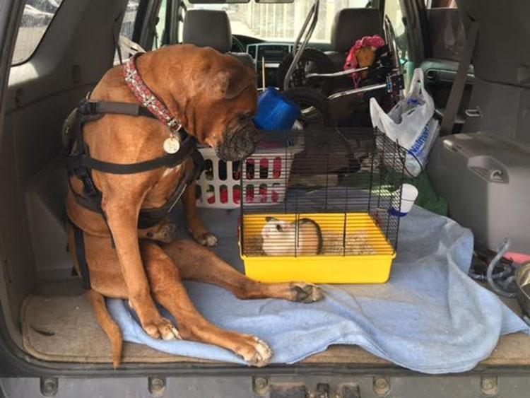 Perro y cobaya
