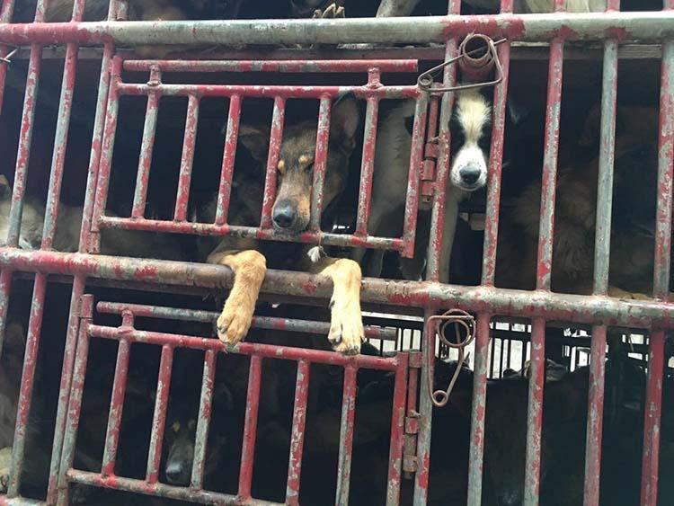 Perros eran transportados al matadero en China