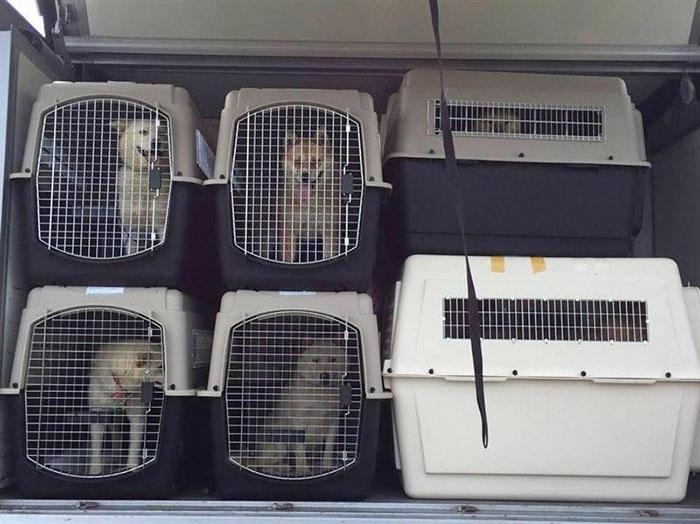 Perros rescatados de una granja de carne de perro